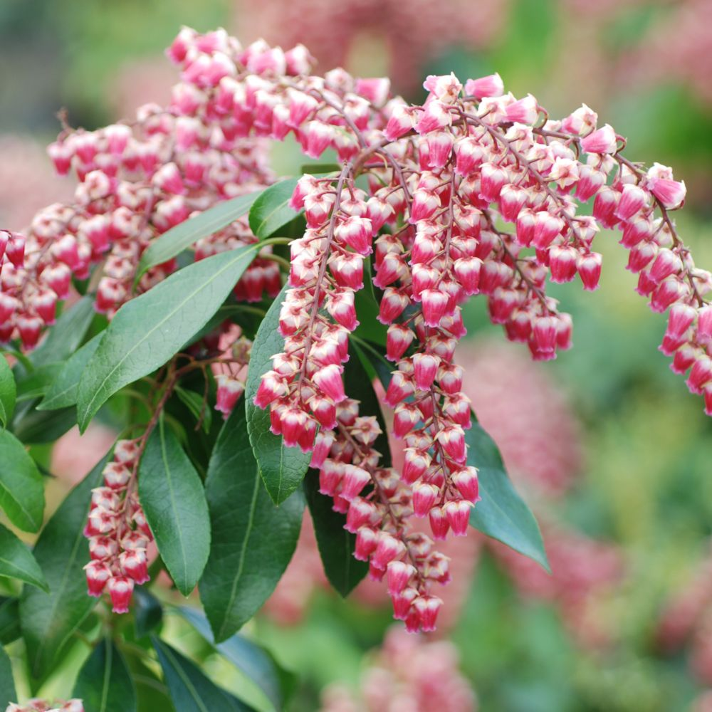 Pieris 'Valley Valentine'