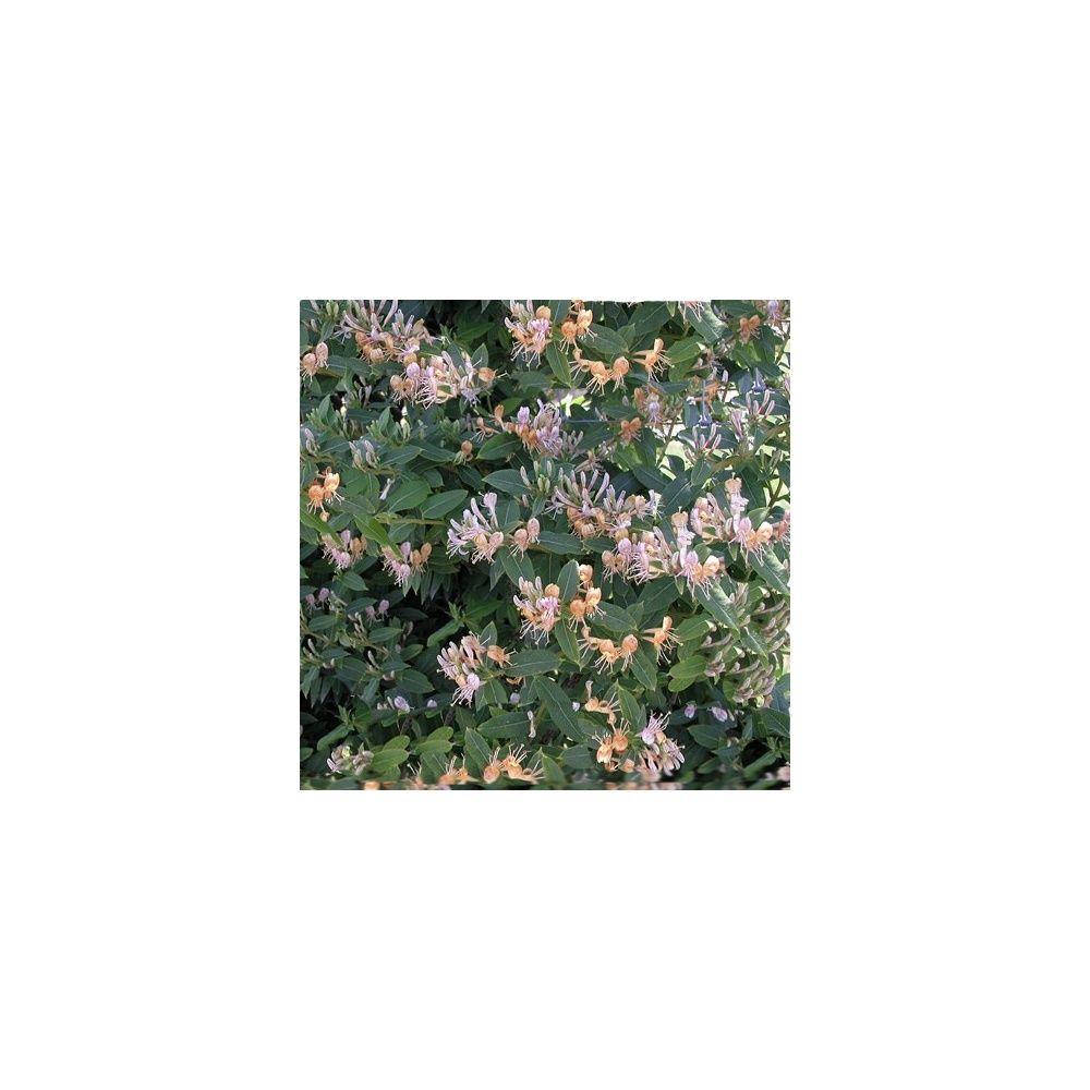 Chèvrefeuille Caprilia ® Ever 'inov42'