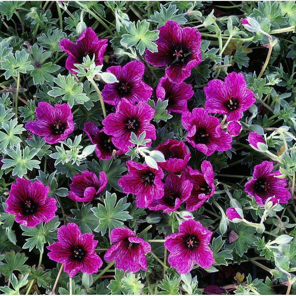 Geranium cinereum purple pillow lot de 3 godets de 7 cm for Geranium d interieur