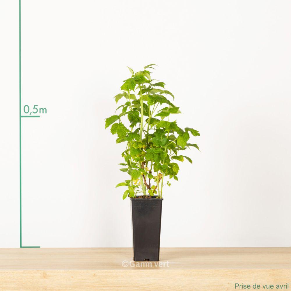framboisier 39 fallgold 39 pot de 2 litres pot haut gamm vert. Black Bedroom Furniture Sets. Home Design Ideas