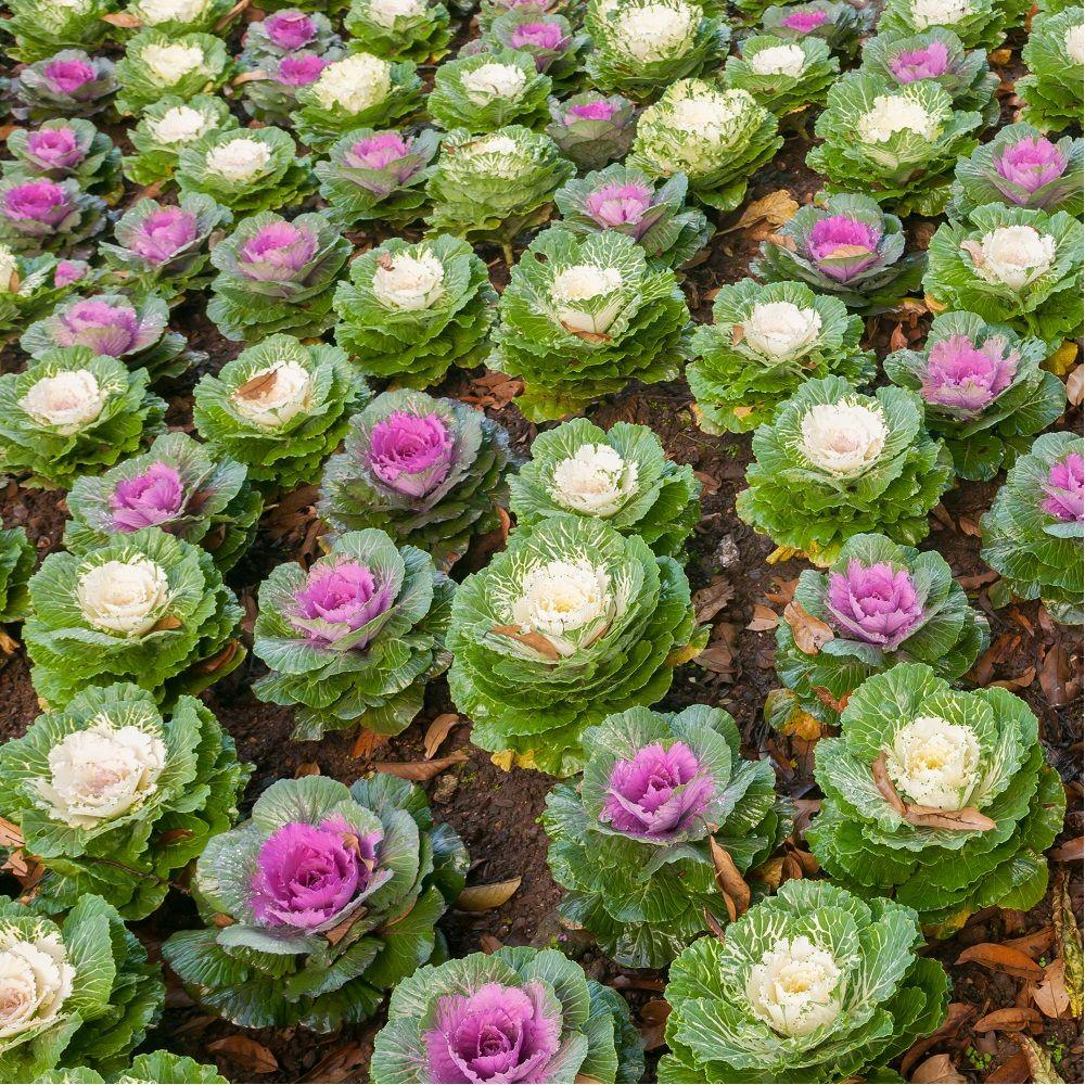 choux d'ornement variés hauteur 40 cm - gamm vert