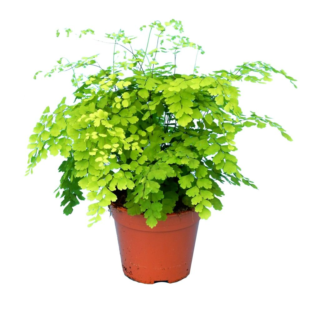 adiantum fragrans 40 cm hauteur 40 cm pot de diam tre 17 cm gamm vert. Black Bedroom Furniture Sets. Home Design Ideas