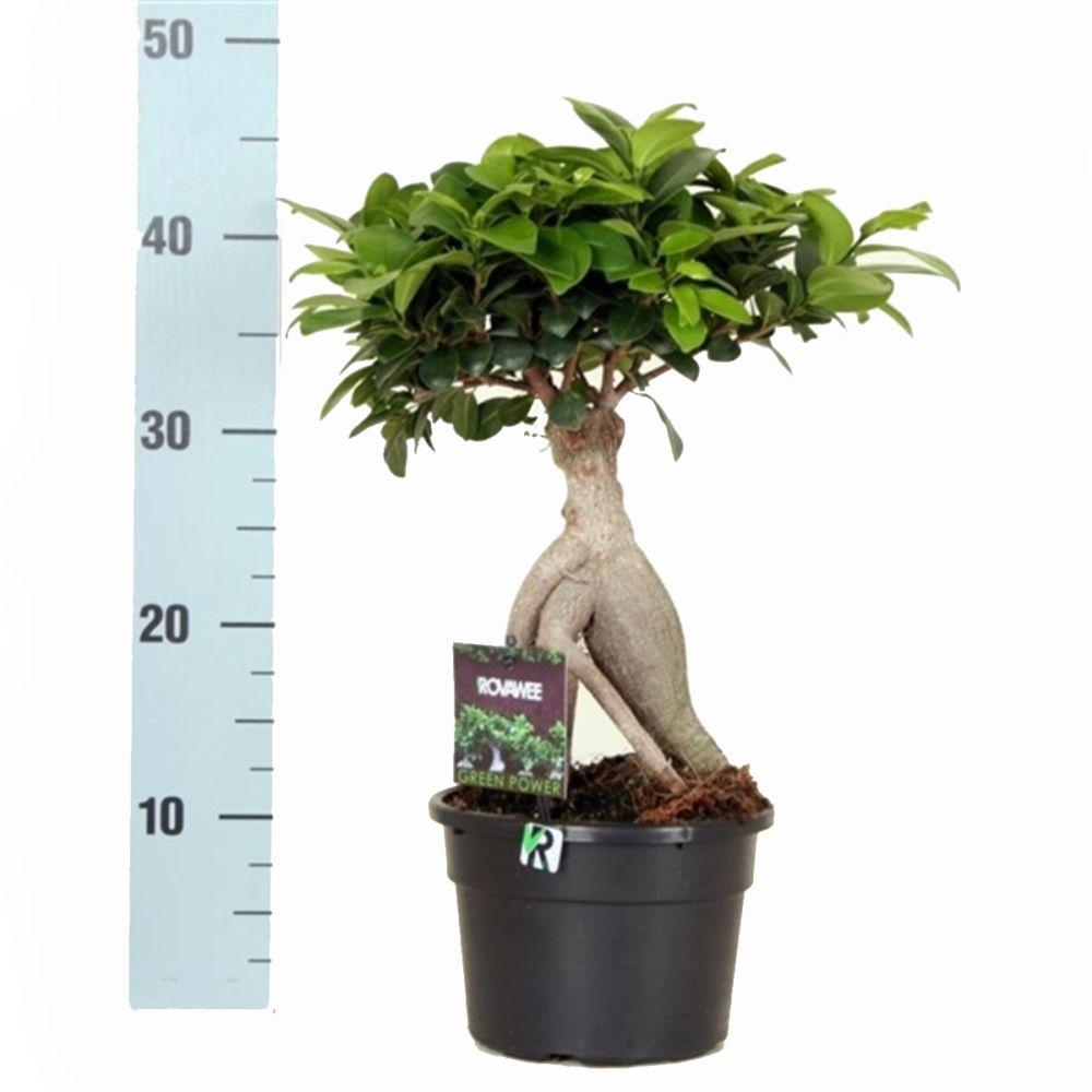 Ficus 39 ginseng 39 en pot de 17cm hauteur 45cm gamm vert - La maison du ginseng ...
