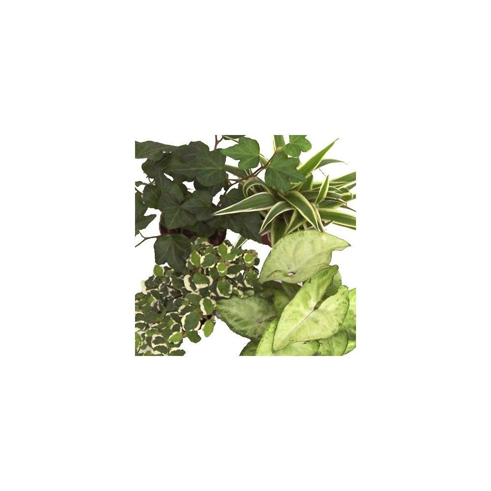 Kit de 4 mini plantes nuance cr me 4 mini plantes pot 6cm for Mini plantes vertes