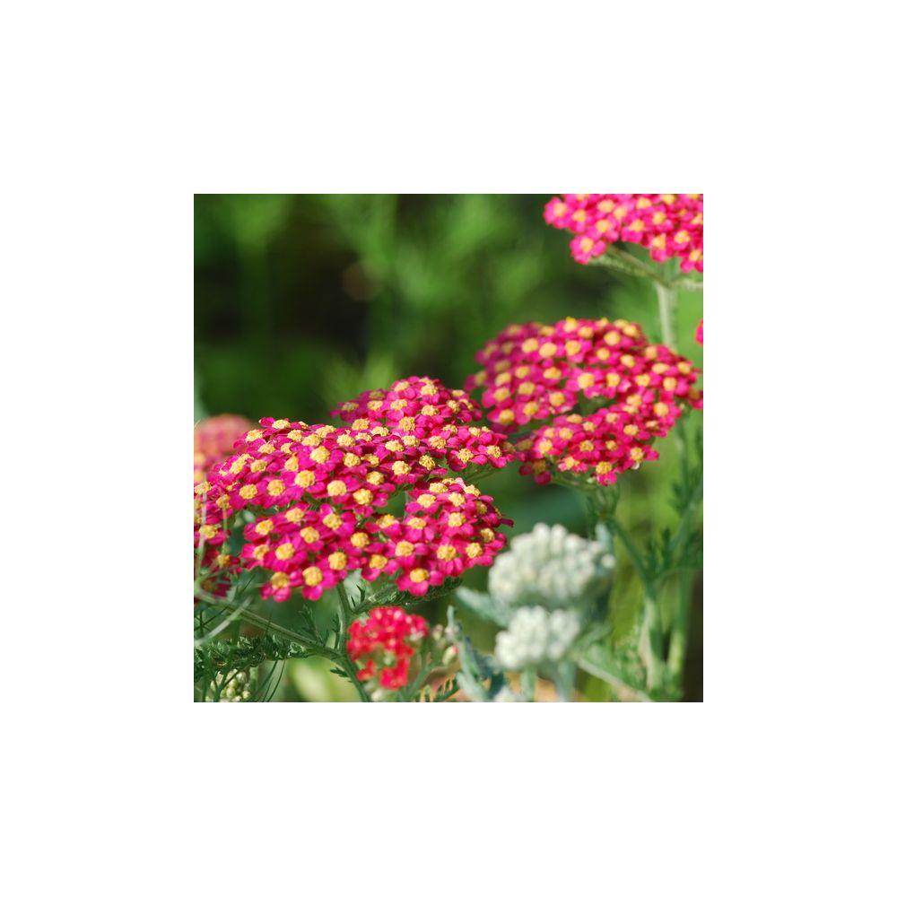 Achillea millefolium rouge