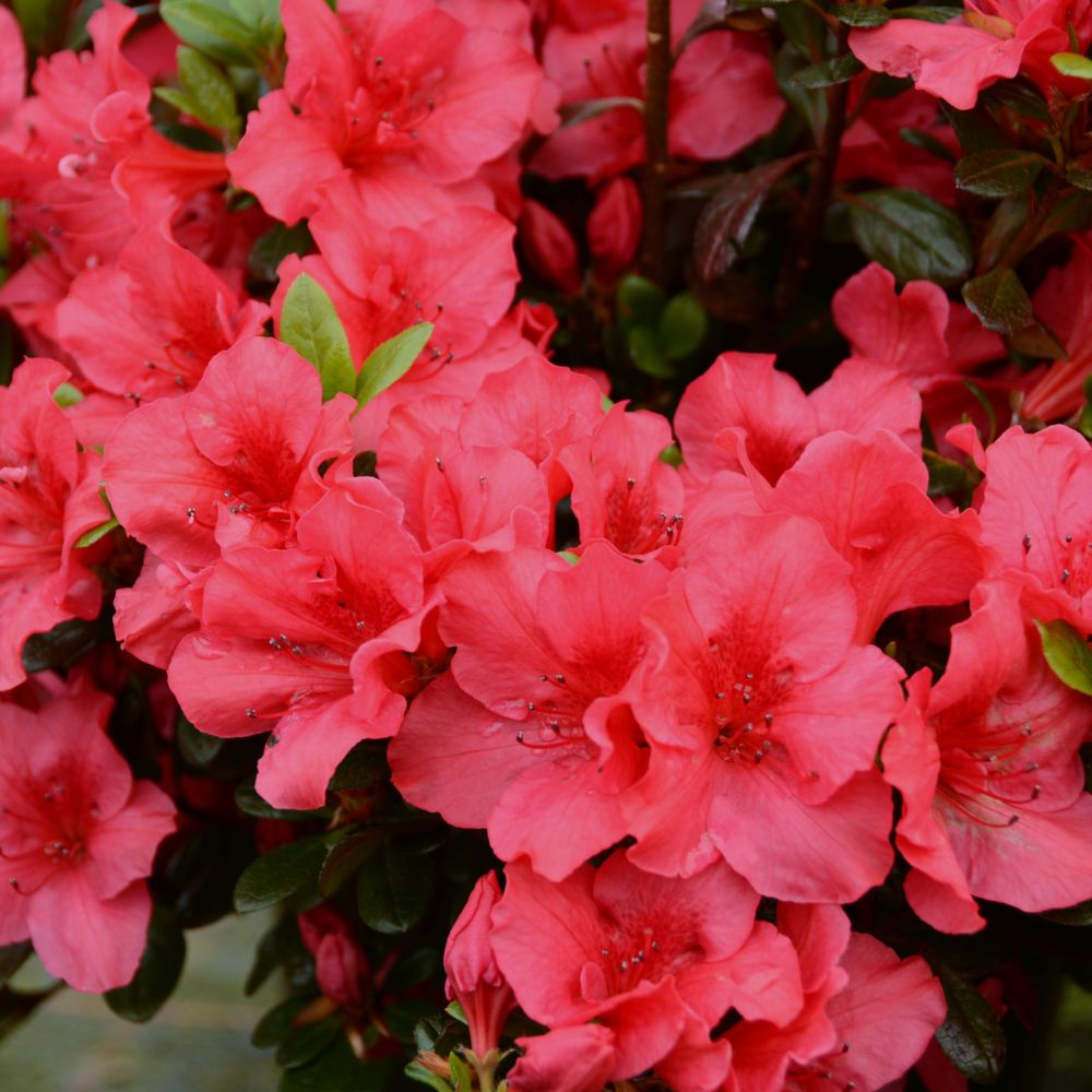 http://photos.gammvert.fr/v5/products/full/22300-azalee-japonaise-johanna-2.jpg