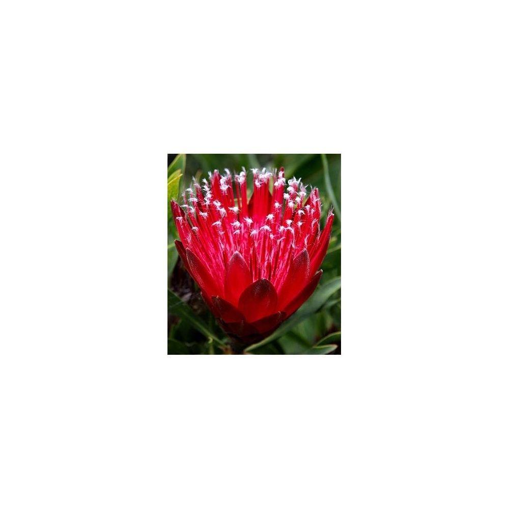 Protea 'Clark's Red'