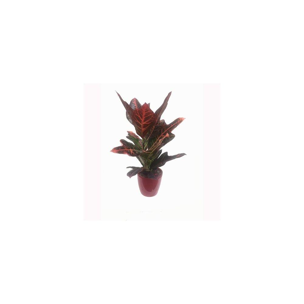 Croton \'Excellent\' 50/55 cm + cache pot Elho Hauteur totale 50/55 cm ...