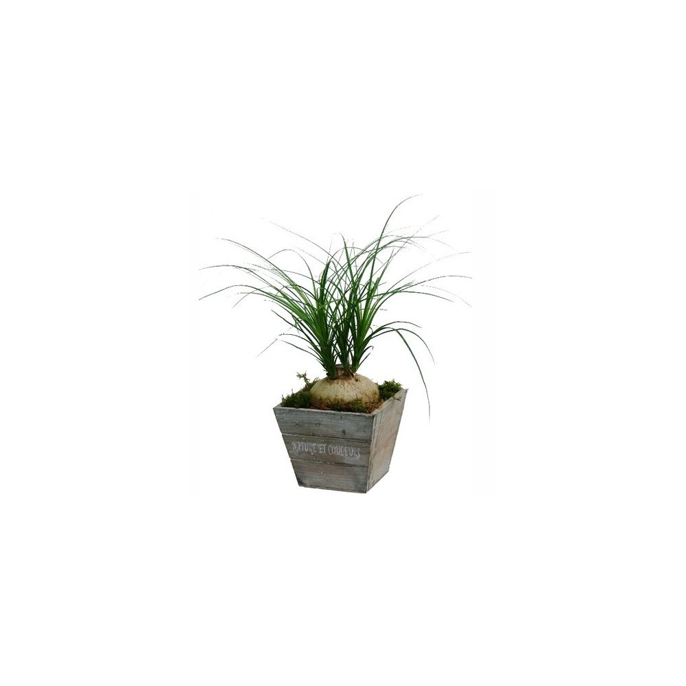 beaucarnea cache pot en bois hauteur 35 cm pot 15 cm de c t gamm vert. Black Bedroom Furniture Sets. Home Design Ideas