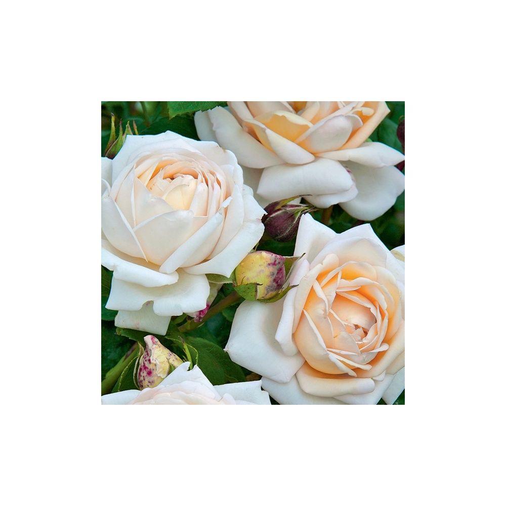 Rosier Generosa ® 'Martine Guillot ®' – Rosier Guillot