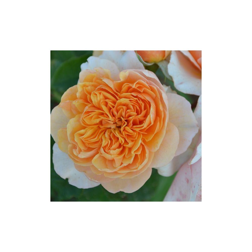 Rosier Generosa ® 'Versigny ®' – Rosier Guillot