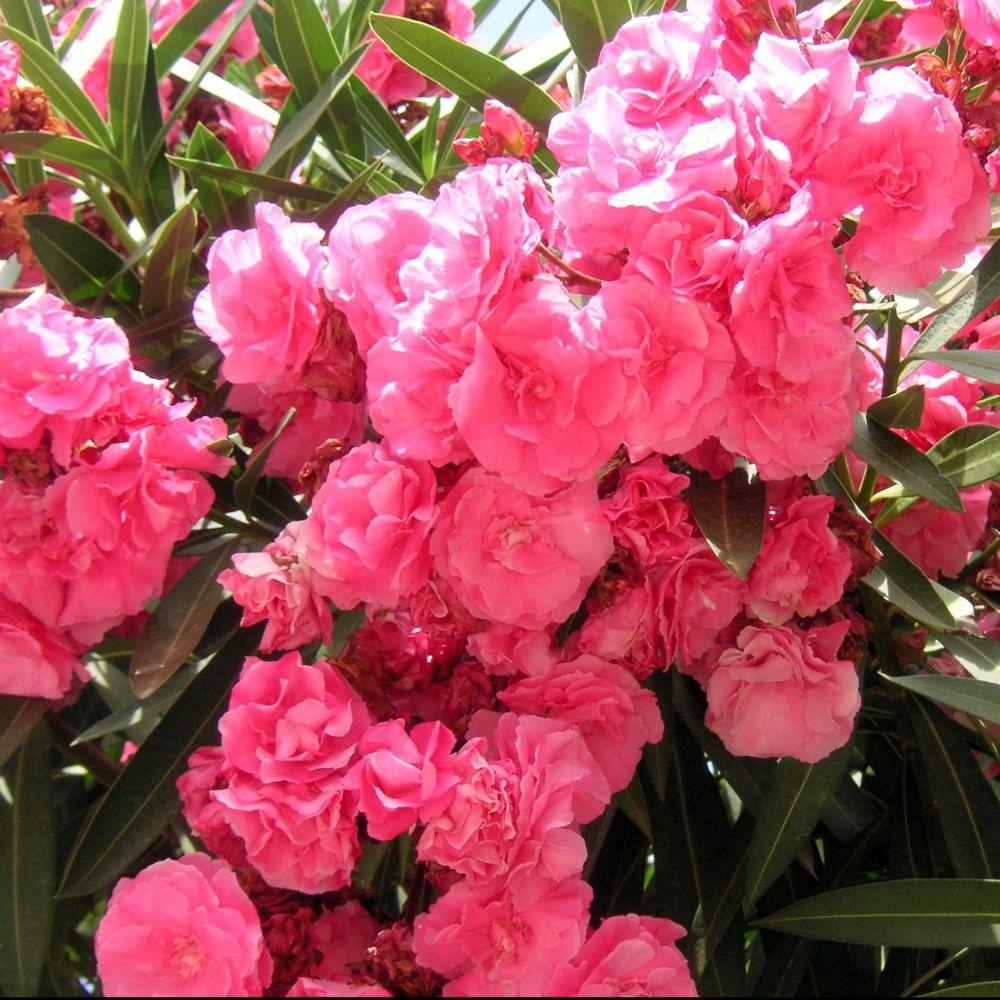 Laurier rose fleurs doubles roses pot de 10 litres hauteur 60 laurier rose fleurs doubles roses altavistaventures Gallery