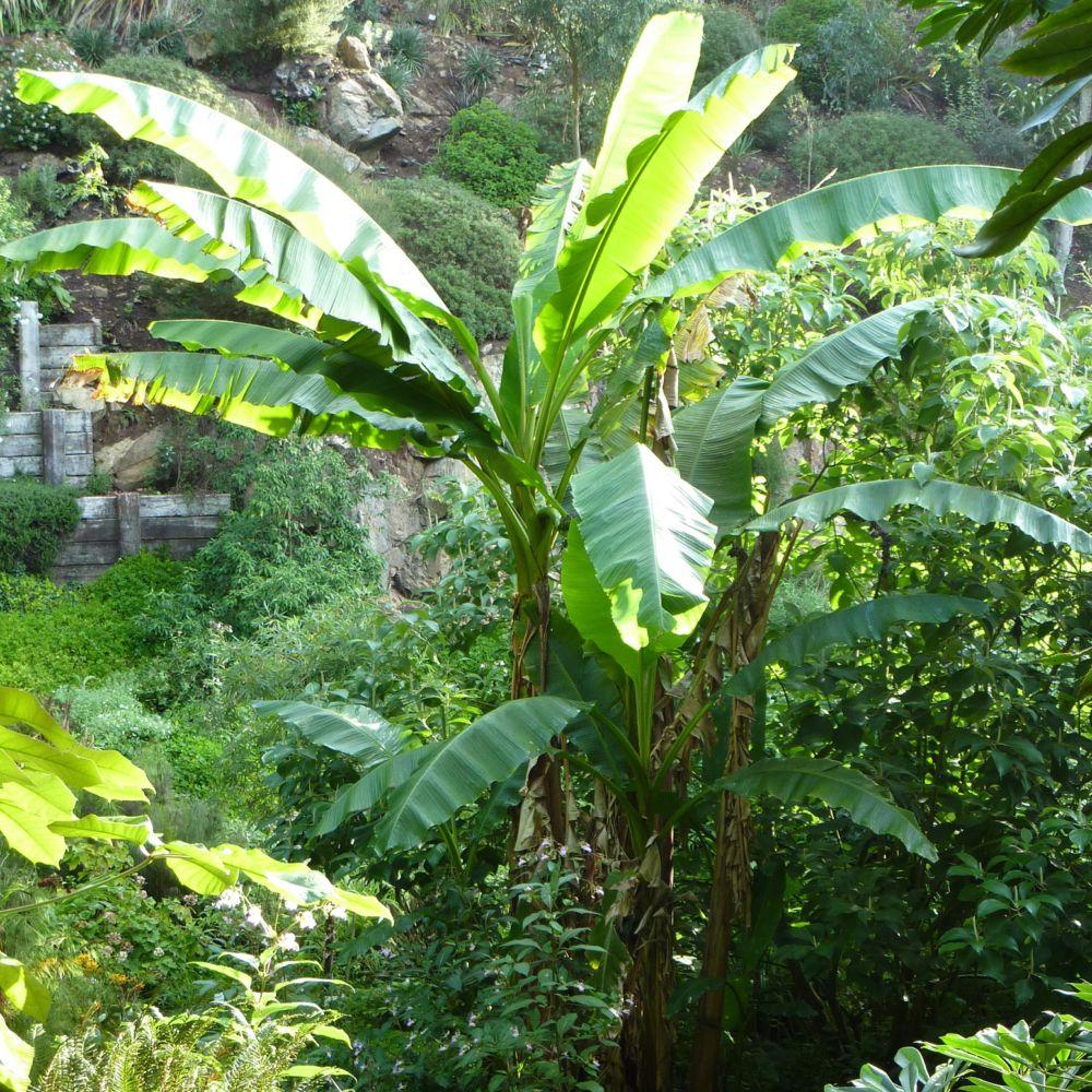 bananier rustique pot de 3 litres - gamm vert
