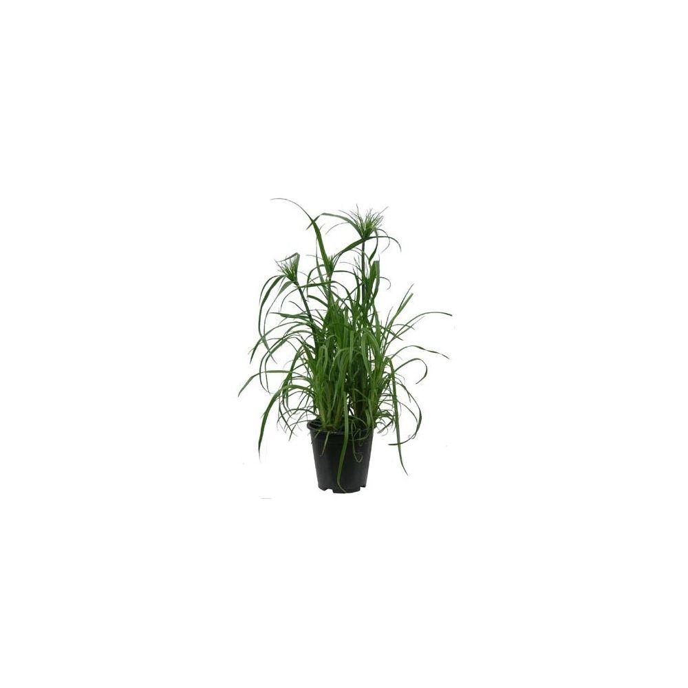 papyrus cyperus alternifolius en pot de 19cm hauteur 80cm gamm vert. Black Bedroom Furniture Sets. Home Design Ideas