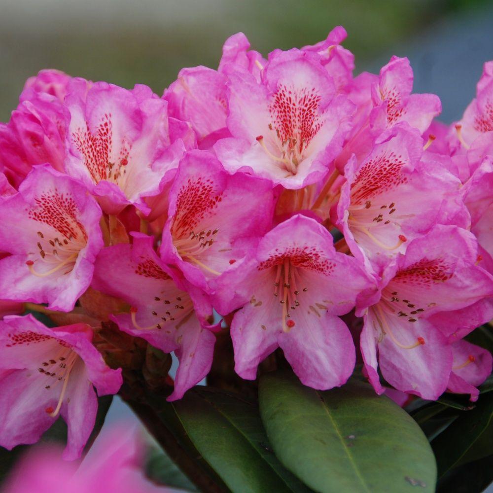 Rhododendron  'Eucharitis'