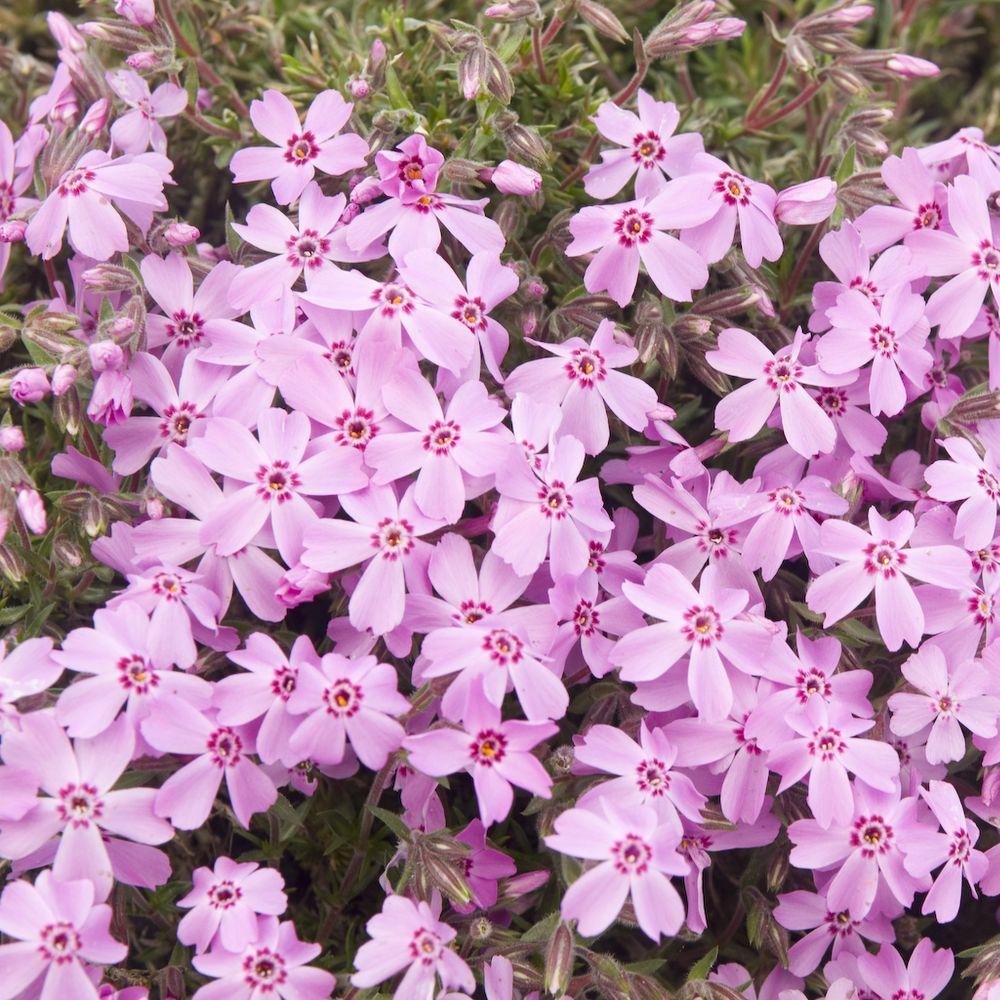 Phlox subulata bonita pink