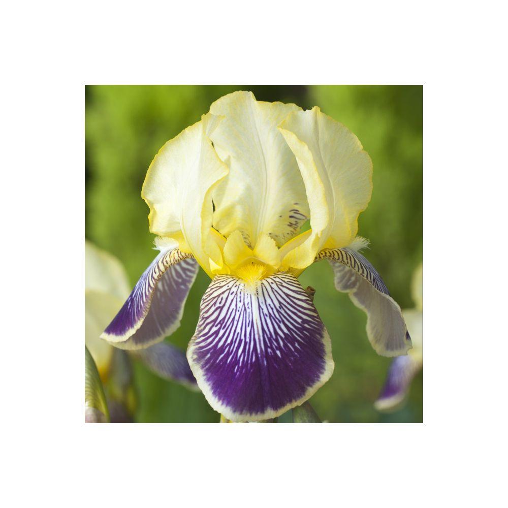 Iris germanica stellata