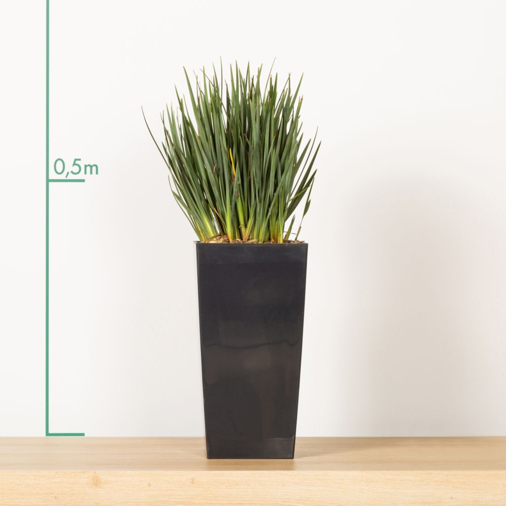 dianella rempot en pot d co hauteur totale 70 cm environ gamm vert. Black Bedroom Furniture Sets. Home Design Ideas