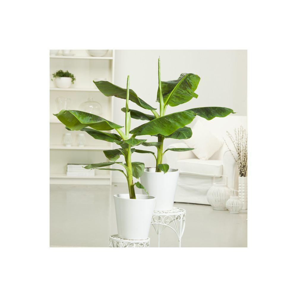 bananier tropicana en pot de 17 cm hauteur avec pot 55 cm gamm vert. Black Bedroom Furniture Sets. Home Design Ideas