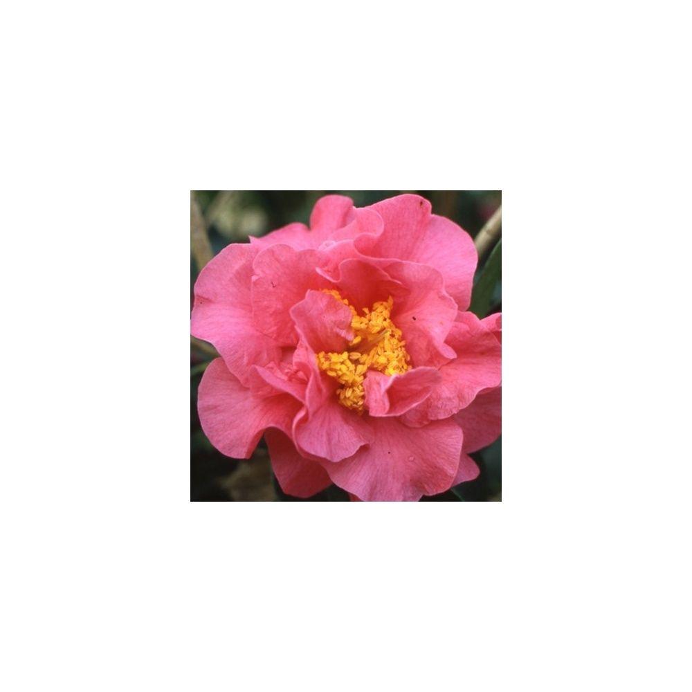 Camélia reticulata 'Francie L'