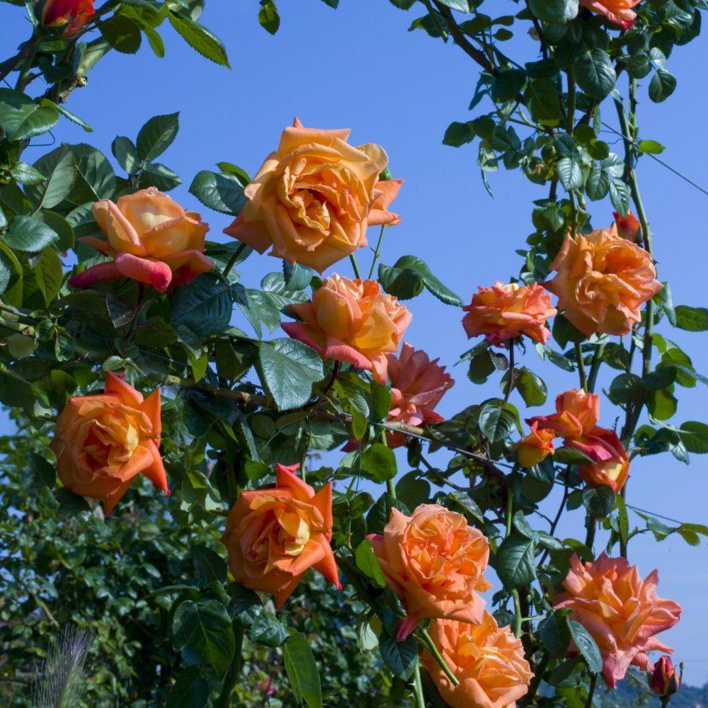 Rosier grimpant 39 louis de fun s 39 rosier meilland - Fabriquer support rosier grimpant ...