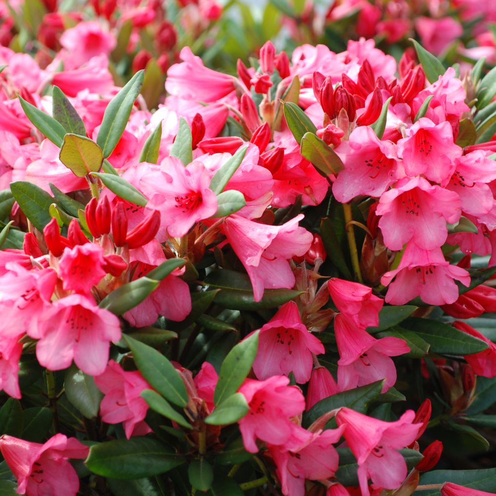 Rhododendron nain 'Winsome'