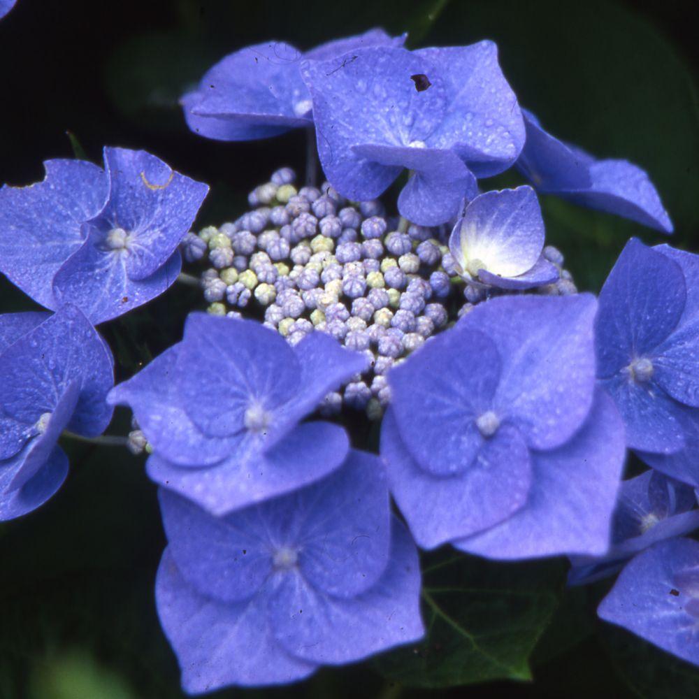 Hortensia 39 blaumeise 39 pot de 3 litres 5 7 branches gamm - Terre pour hortensia bleu ...