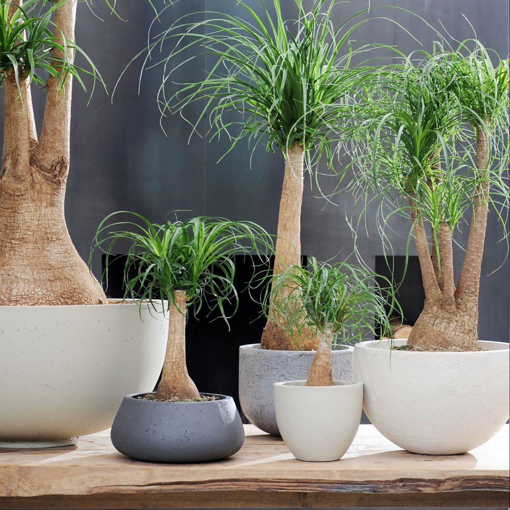 Pied d 39 l phant beaucarnea en pot de 14cm hauteur avec pot 40cm gamm vert - Plante verte appelee pied d elephant ...