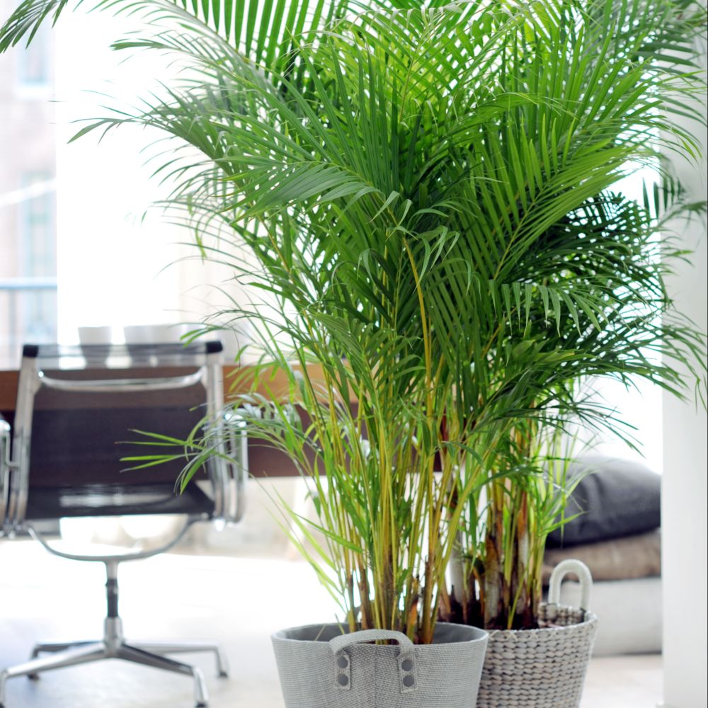 palmier areca lutescens dypsis en pot de 24cm hauteur 125cm gamm vert. Black Bedroom Furniture Sets. Home Design Ideas