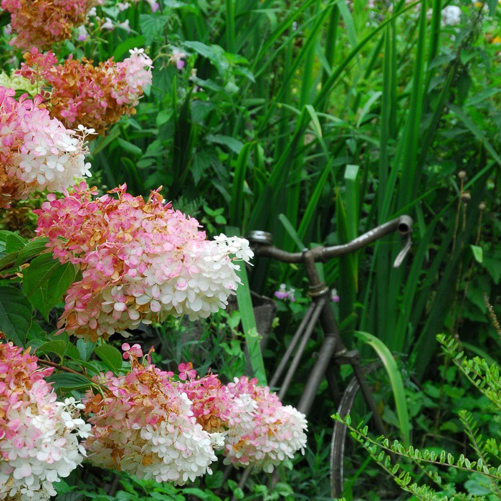 hortensia paniculata 39 vanille fraise 39 renhy pot de 10 litres gamm vert. Black Bedroom Furniture Sets. Home Design Ideas