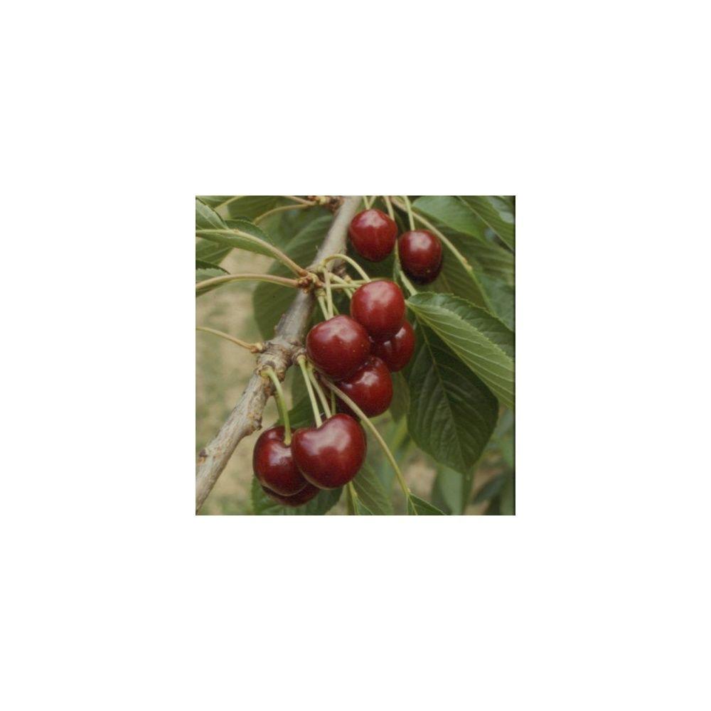 Cerisier Bigarreau 'Summit' : taille en demi-tige 12/14