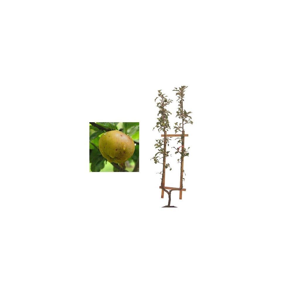 Pommier 'Calville Blanc': taille en palmette U