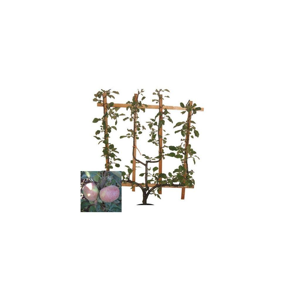 Pommier 'Belle Joséphine' : taille en palmette verrier