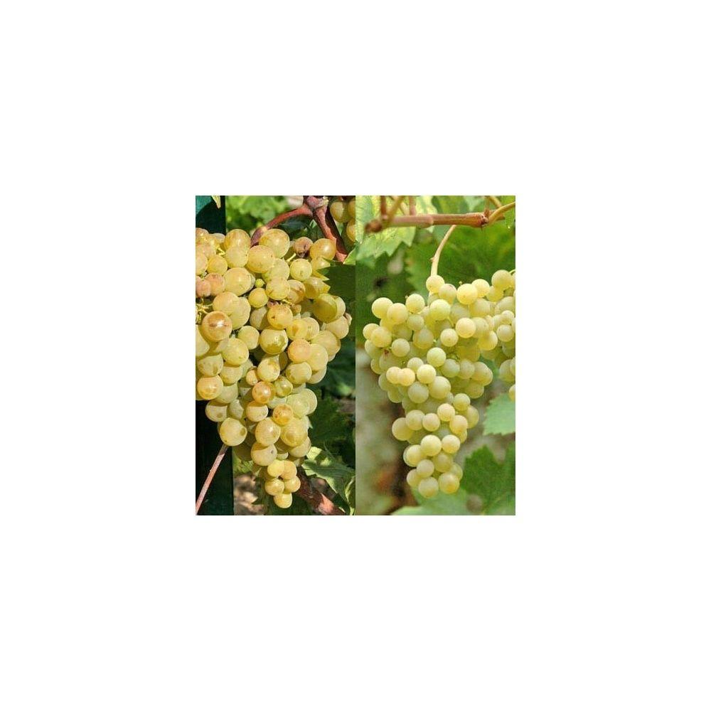 Vignes : Collection les rustiques