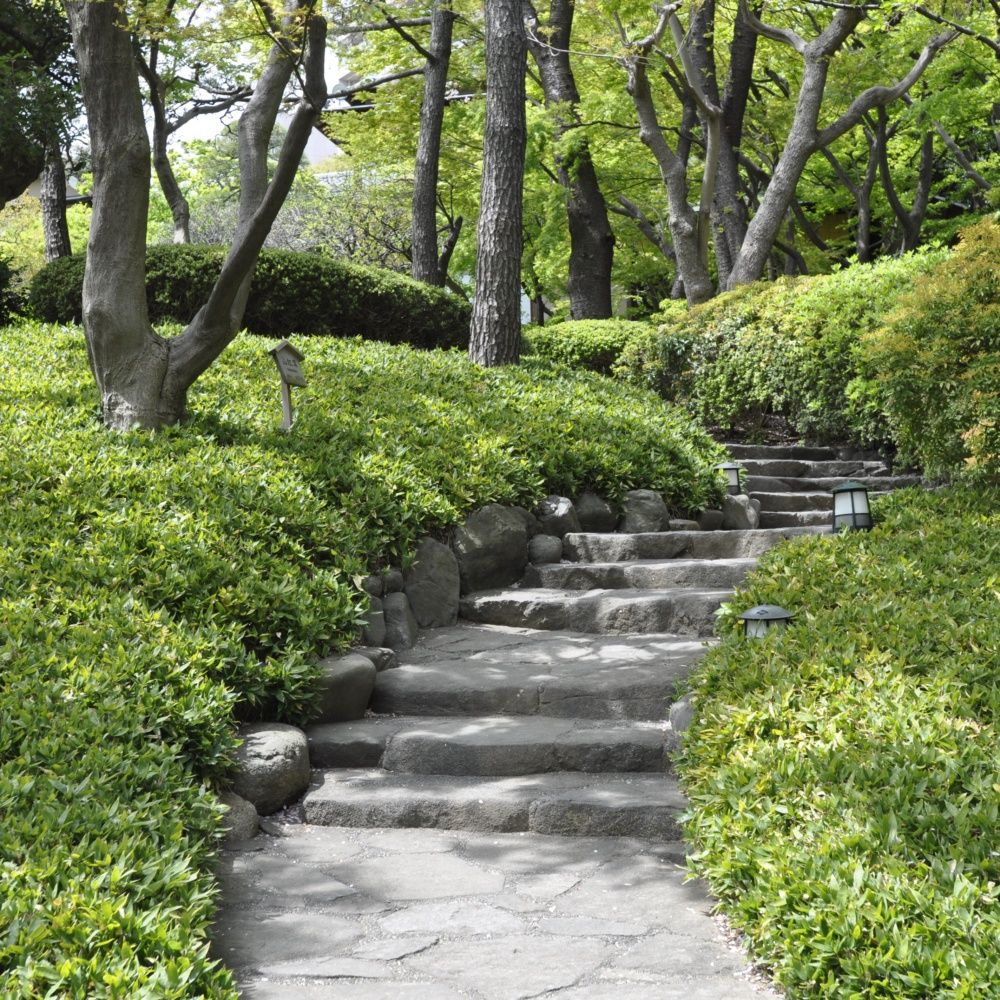 bambou nain shibataea kumasaca pot de 3 litres hauteur 30 40 cm gamm vert. Black Bedroom Furniture Sets. Home Design Ideas