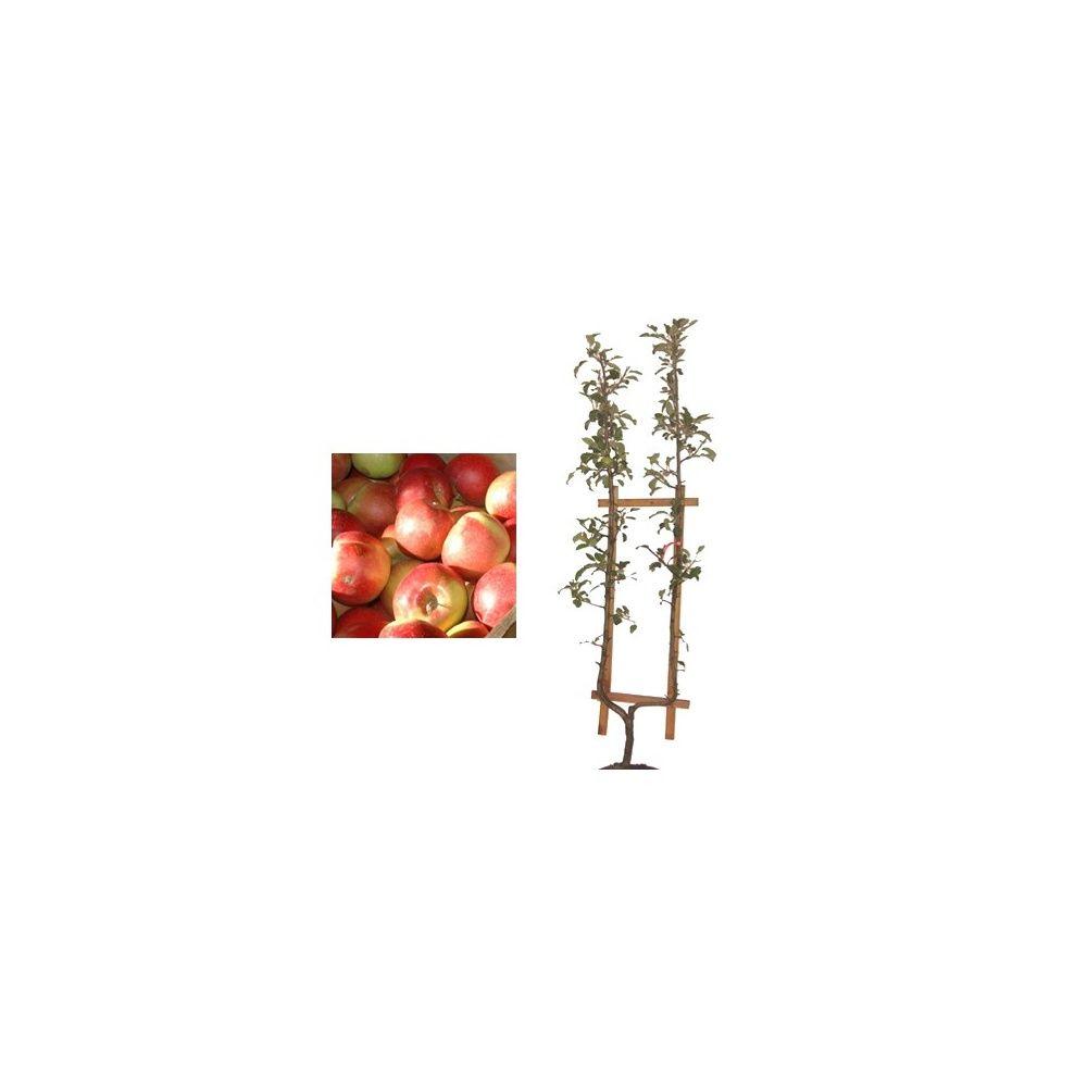 Pommier 'Idared' : taille en palmette U en pot
