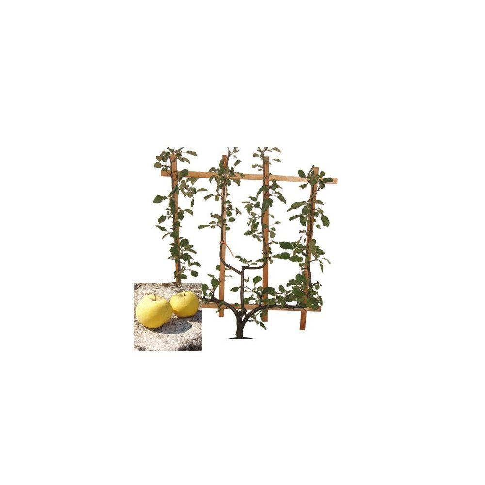 Pommier 'Transparente de Croncels' : taille en palmette verrier en pot