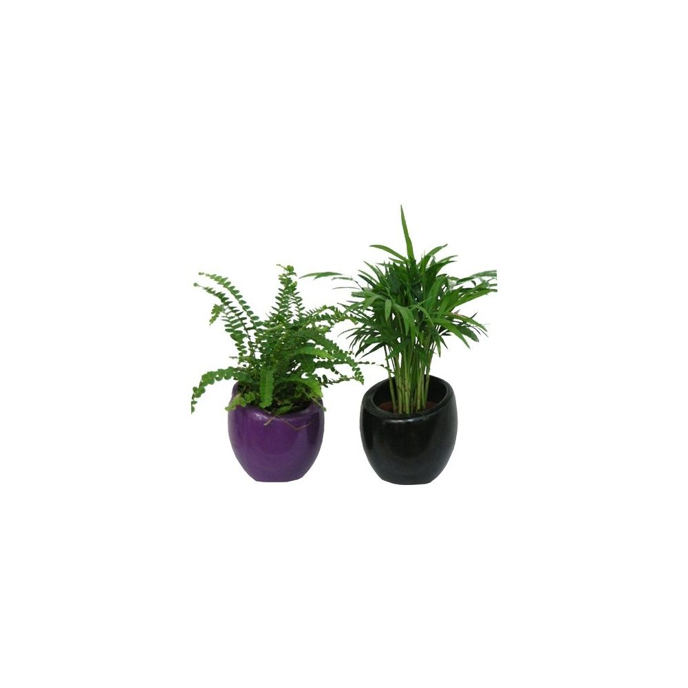 assortiment de 2 mini plantes cache pots noir violet 2 mini plantes pot 6 cm cache pots. Black Bedroom Furniture Sets. Home Design Ideas
