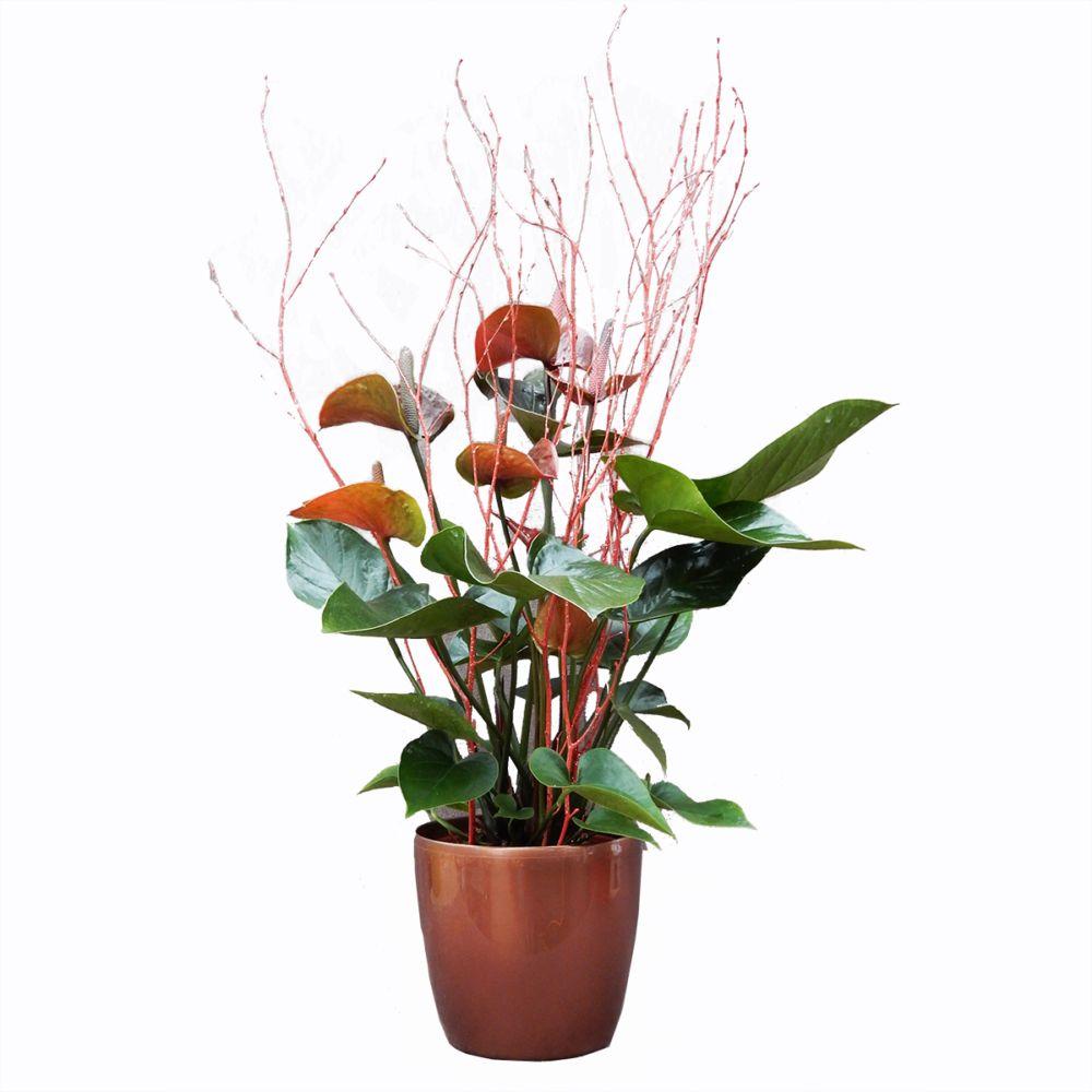 sélection noël - anthurium chocolat hauteur totale 65/70cm, cache