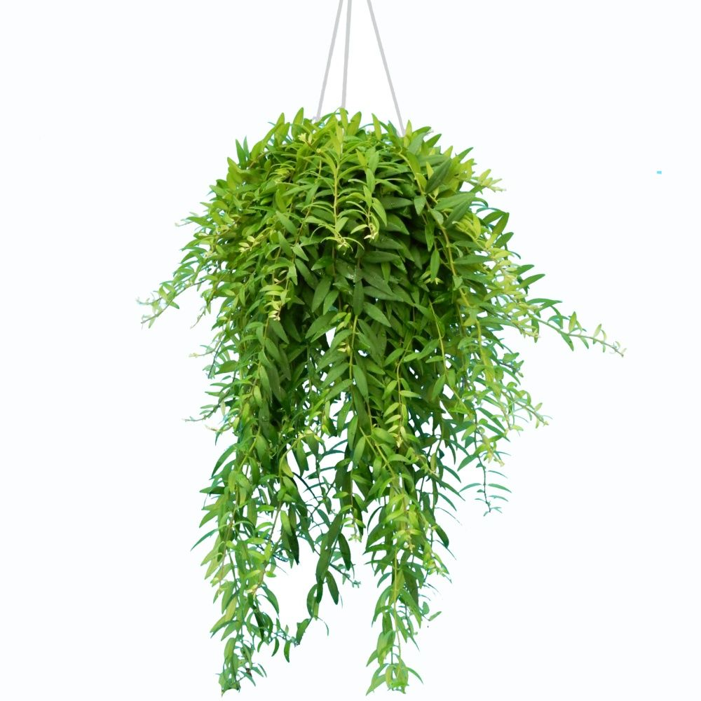 aeschynanthus japhrolepis suspension 14 cm hauteur avec pot 35 cm gamm vert. Black Bedroom Furniture Sets. Home Design Ideas