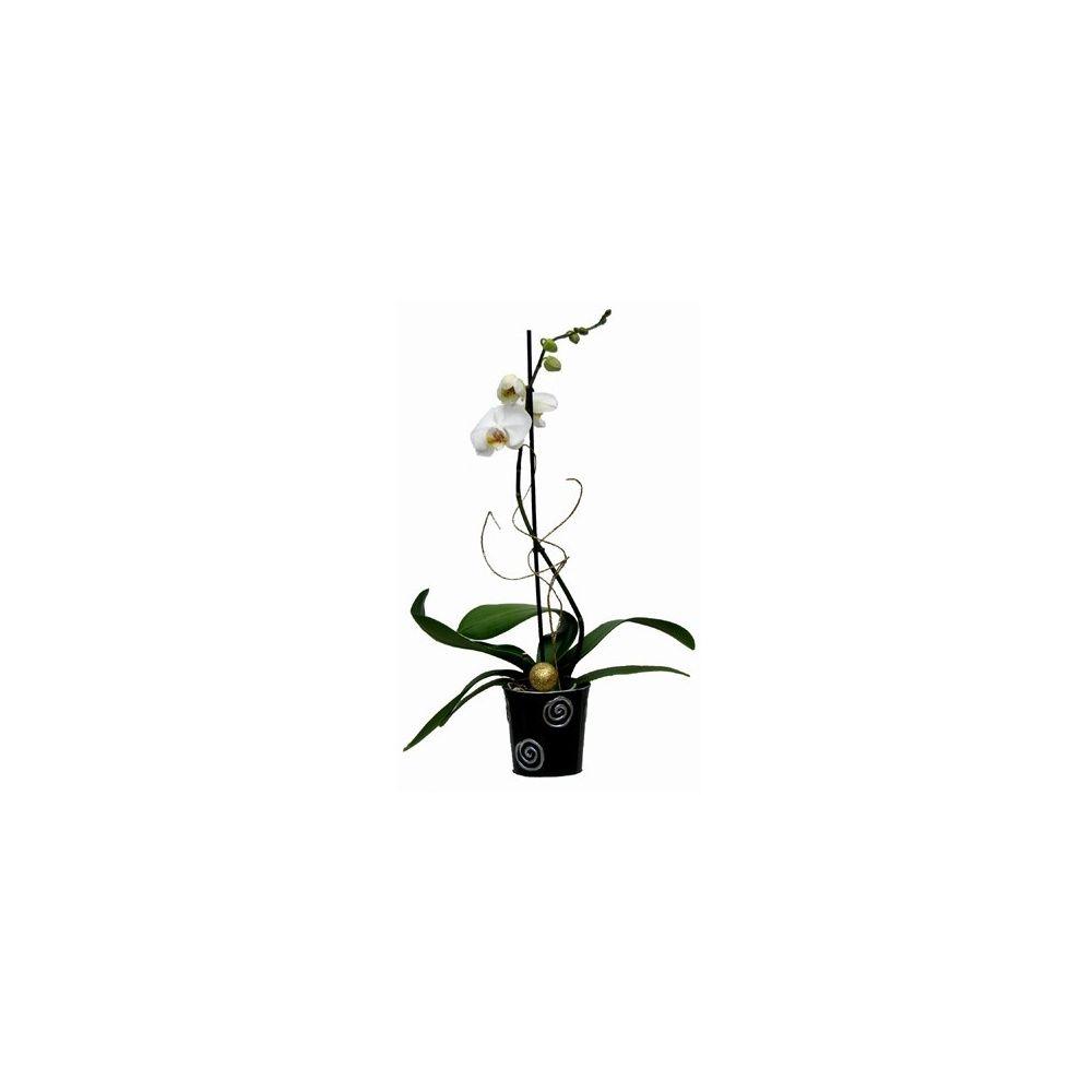 Orchidee Phalaenopsis Blanc Pur En Fleur 1 Hampe Florale Cache