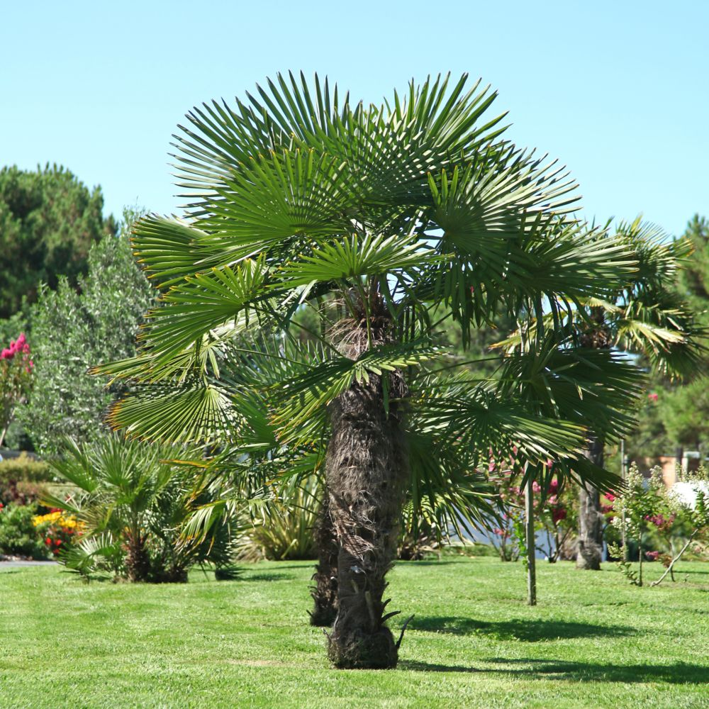 palmier chanvre pot de 7 litres hauteur 50 60cm gamm vert. Black Bedroom Furniture Sets. Home Design Ideas