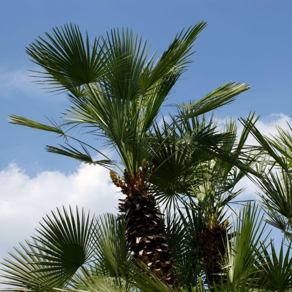 palmier 5 lettres