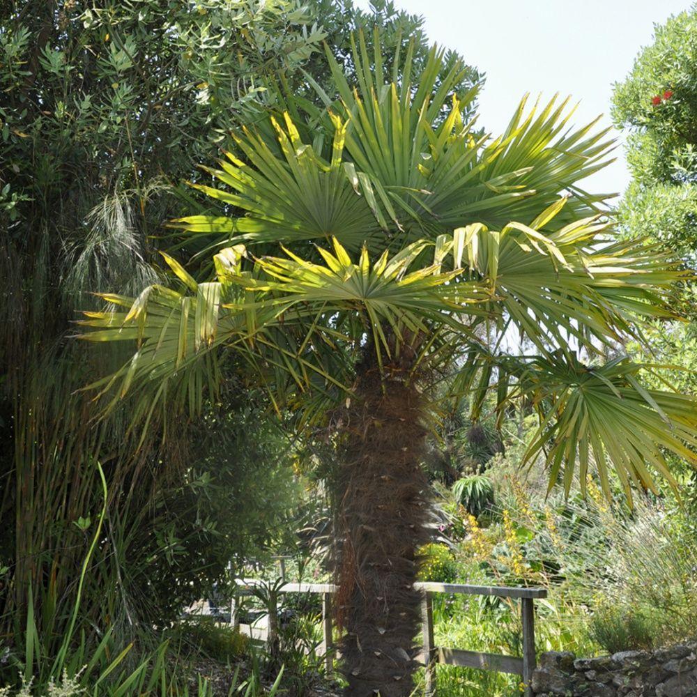 Palmier chanvre pot de 7 litres hauteur 50 60cm gamm vert - Pot pour palmier ...