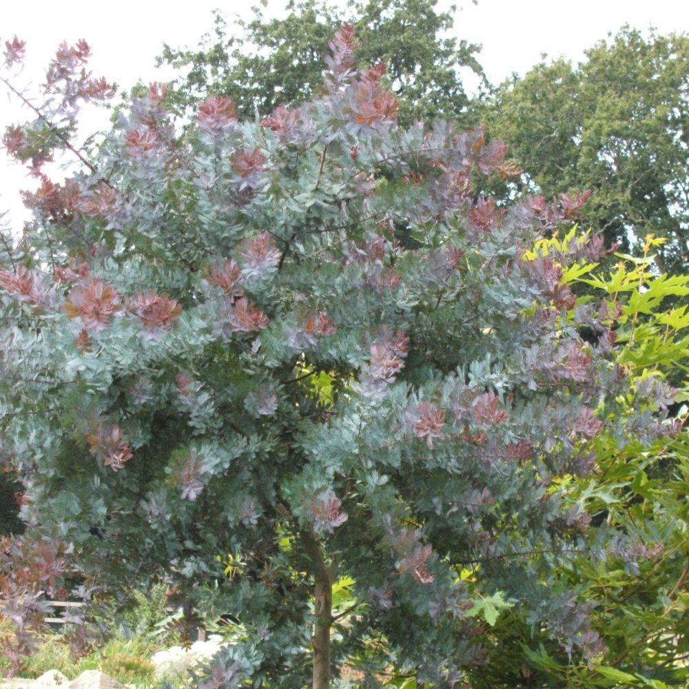 mimosa de bailey pourpre pot de 5 litres hauteur 60 100 cm gamm vert. Black Bedroom Furniture Sets. Home Design Ideas
