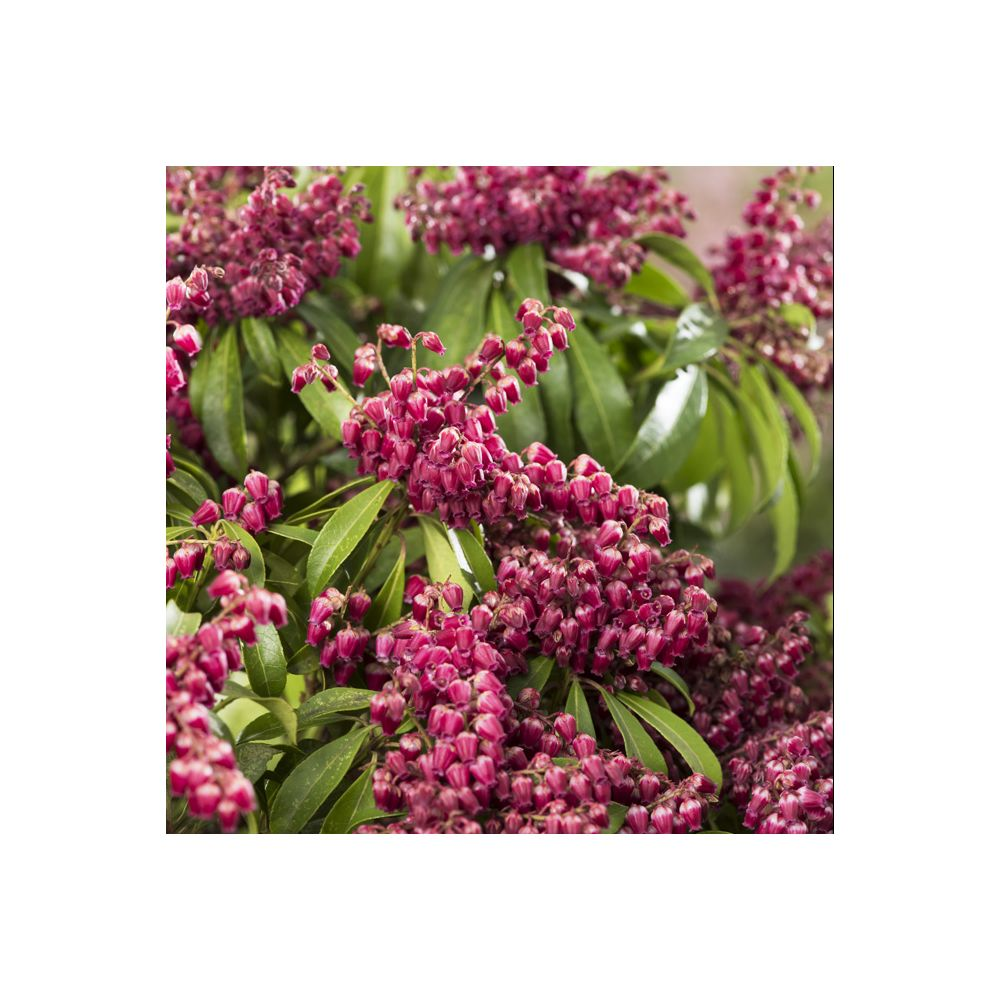 Pieris 'Passion ®