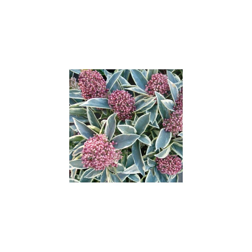 skimmia japonica magic marlot
