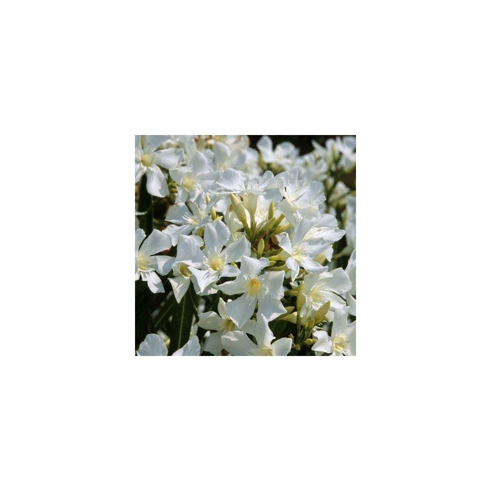 Laurier rose fleurs blanches pot de 5 litres hauteur 40 50 cm gamm vert - Laurier fleur en pot ...
