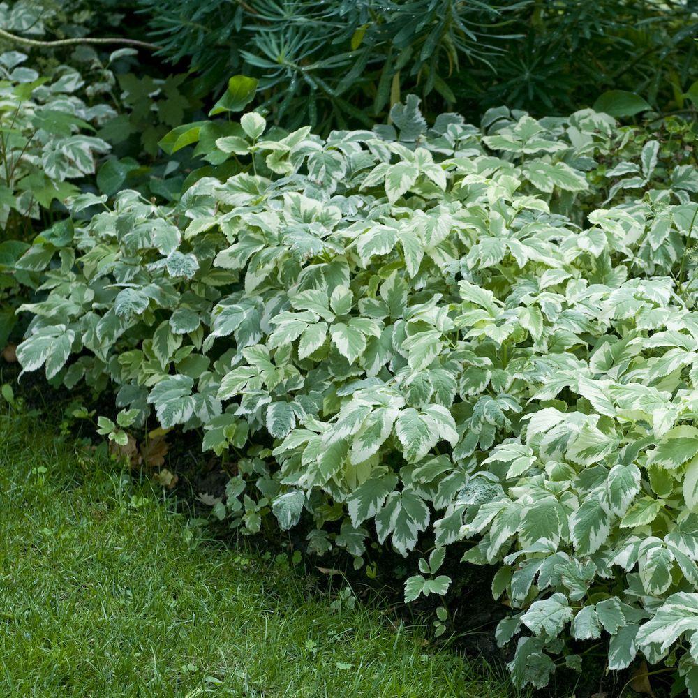 Aegopodium podagraria variegatum