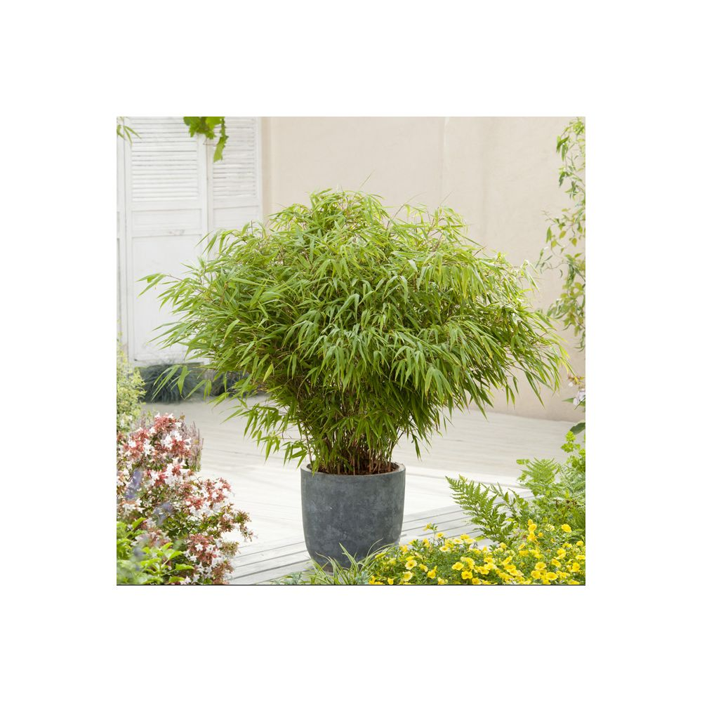 bambou non tra ant fargesia rufa pot de 5 litres gamm vert. Black Bedroom Furniture Sets. Home Design Ideas